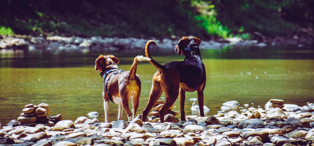 ZWei Hunde am Fluss